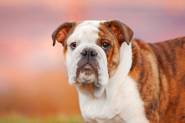 Portrait of english bulldog