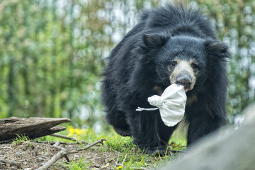 Sloth black asian bear