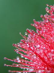 Callistemon citrinus - closeup