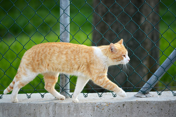 gato naranja caminando por un muro
