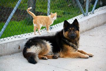 perro pastor aleman junto a gato blanco y naranja