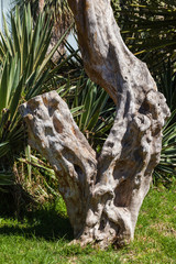 Twisted tree stump