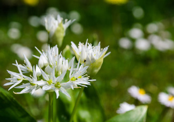closeup of blooming wild garlic flowers