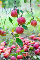 Red ripe apples on a branch for background