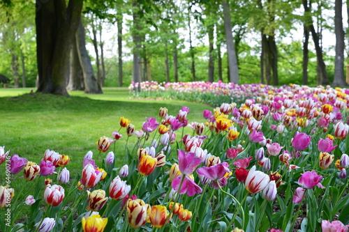 canvas print picture Tulips color
