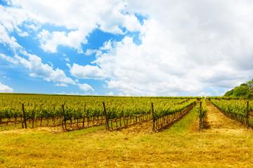 Vineyards in Tuscany Italy