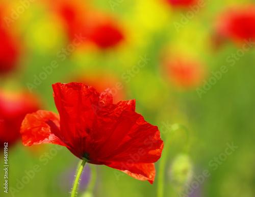 Papiers peints Poppy poppies blooming in the wild meadow