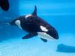Killer whale (Orcinus orca) in an aquarium - 64693148