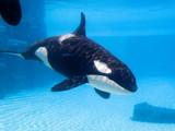 Killer whale (Orcinus orca) in an aquarium