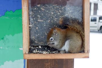 Squirrel feeding seeds in a bird feeder, Orangeville, Dufferin C