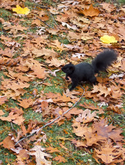 High angle view of a Black squirrel