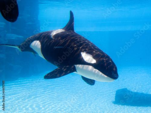 Poster Killer whale (Orcinus orca) in an aquarium