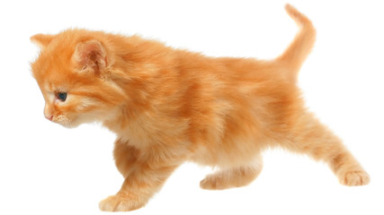 Orange kitten goes