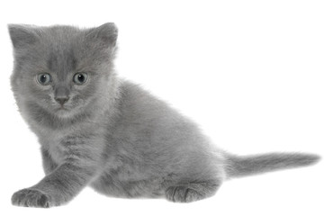 Small gray long haired kitten lay isolated
