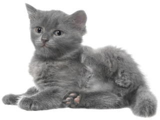 Small gray shorthair kitten lie with