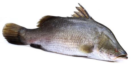 Barramundi or Koral fish of Southeast Asia