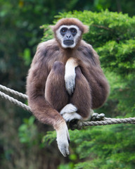 Lar Gibbon, or a white handed gibbon