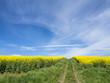 canvas print picture - Der Weg durchs Rapsfeld
