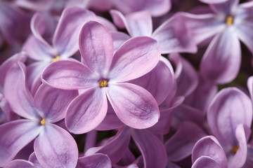 beautiful floral background of  purple lilac macro