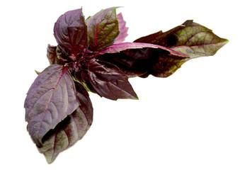 Leaf Ocimum basilicum
