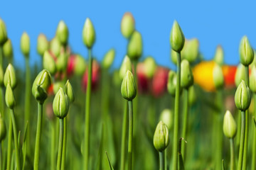 green buds of tulips