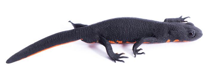 Black Salamander with Space
