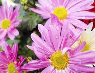 purple chamomile with dew