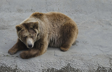 Brown bear rest out the lair in zoo Sofia, Bulgaria