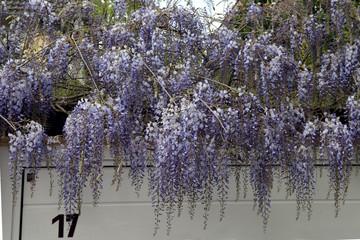 Blauregen; Wisteria, sinensis;