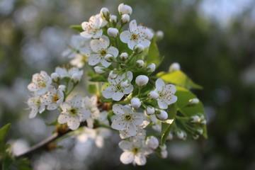 Kirschblüten weiß