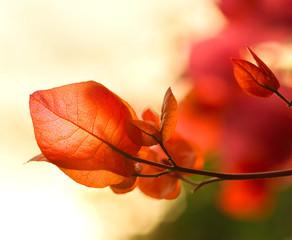 Beautiful bouganvillea flowers in back soft sunset light