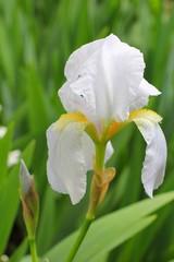 Iris blanc des jardins