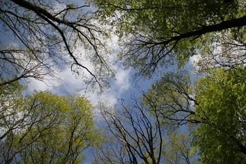 Baumkronen unter blauem Himmel im Frühling