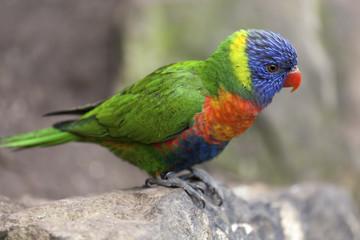 Rainbow lorikeet (Trichoglossus haematodus) on a rock