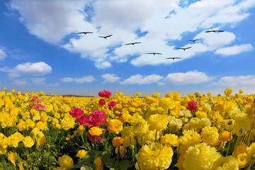 The large field of yellow ranunculus