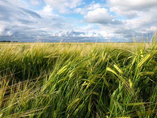 beautiful wheat field after storm and rain