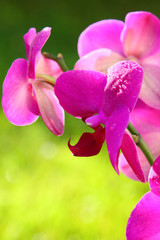 Pink orchid isolated on green.