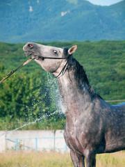 wasning of white purebred arabian stallion
