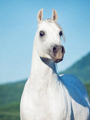 portrait of white beautiful arabian stallion