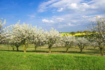 Frühlingslandschaft mit Kirschblüte - 1606