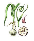 Fruits and leaves of garlic. Botany poster