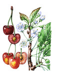 Cherry fruit and leaves. Botany poster