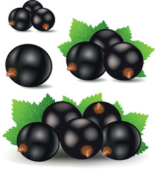 black currant vector illustration