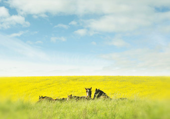 Horses in the rapeseed