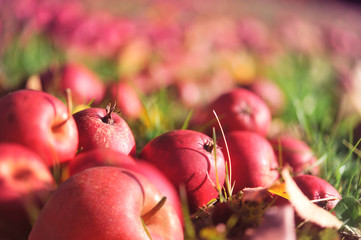 Many apples lying on grass