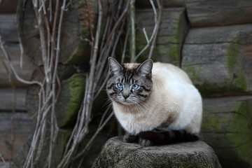Siamese cat sitting on a log wall background