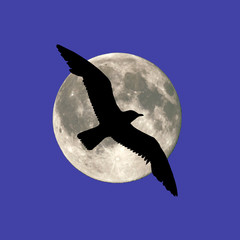 Seagull at the moon background