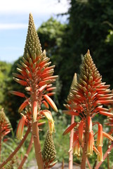 hot poker flower