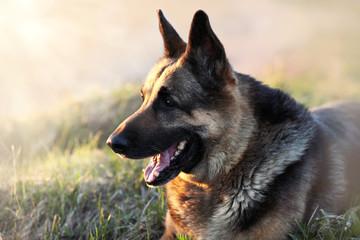 German Shepherd dog breed in the sun