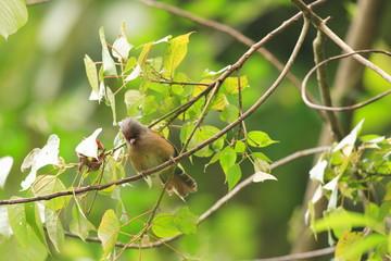 Rusty-fronted Barwing (Actinodura egertoni) in Eaglenest , India